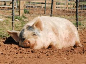 pigs_web